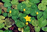 Haus&Garten 4 Pflanzen Seekanne Mini-Teichrose tolle Wasserpflanze Teichpflanze ideal für Mini Teiche Nymphoides peltata
