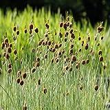 fertig im Pflanzkorb - Typha minima - winterhart - Zwergrohrkolben - Wasserpflanzen Wolff
