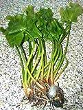 1 grüne japanische Teichrose, Nuphar Japonica