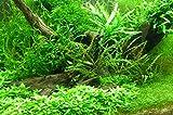 100 Wasserpflanzen + Dünger + Wasseraufbereiter, 16 Bund