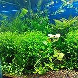 EgBert 1000Pcs/Bag Aquarium Plants Samen Künstliche Aquarienverbau Pflanzendekoration Fisch Tank Tauchen