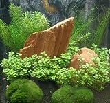 Mühlan Topartikel - Anti-Algen-Set, 5 schnellwachsende Pflegeleichte Aquariumpflanzen + 2 Mooskugeln