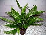 1 Javafarn Mutterpflanze XXL 30-40 cm, für Ihr Aquarium, Microsorium, Barschfeste Wasserpflanzen für das Aquarium, Aquarienpflanzen