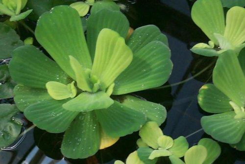 Mühlan Wasserpflanzen 3 Grosse...