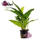 Mutterpflanze Microsorum pteropus Javafarn, Aquarienpflanzen, Wasserpflanzen
