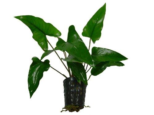 1 Topf Anubia gracilis,...