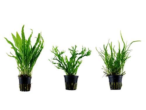 Tropica Pflanzen Set mit 3 Javarfarn...