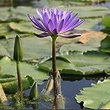 Soteer Garten - 10 Stück Indische Lotusblumen Samen Wasserpflanzen Teich Zierpflanzen Lotus Blumensamen winterhart mehrjährig