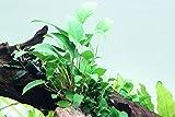 Tropica Aquarium Pflanze Anubias gracilis Wasserpflanzen Aquarium Aquariumpflanzen Topf Nr.101D