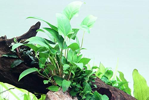 Tropica Aquarium Pflanze Anubias...