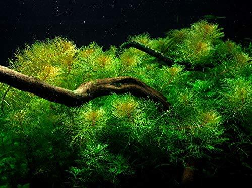 Tropica Aquarium Pflanze Aquariumpflanze...