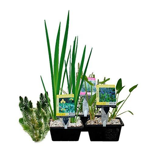 VDVELDE Wasserpflanzen-Paket für...