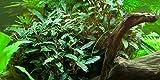 Tropica Aquarium Pflanze Bucephalandra sp. 'Red Nr.139A Wasserpflanzen Aquarium Aquariumpflanzen