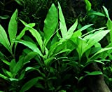 WFW wasserflora Schmalblättriger Wasserfreund/Hygrophila corymbosa 'Siamensis 53B' im Topf