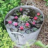 Tomasa Gartensamen- Mini Lotus Samen Seerose Keimen Lotus Blumensamen winterhart mehrjährig Wasserpflanzen Bonsai Lotus Saatgut Teich Samen Zimmerpflanzen