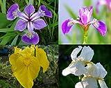 ZAC Wagner 5 Töpfe Sumpfschwertlilien Sortiment - Iris Teichpflanzen Teichpflanze Teich