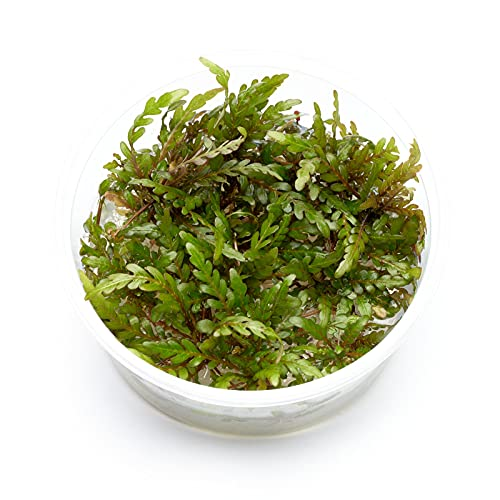 Guemmer Plant Hygrophila pinnatifida -...