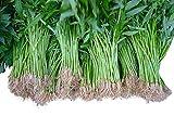 Wasserspinat 50 Samen -Ipomoea aquatica- Morning Glory *Wasserpflanze/Teich/Sumpf und Biotop