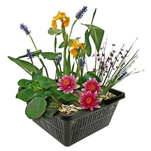 Mini-Teichpflanzen-Set - Multi - 1 rote...