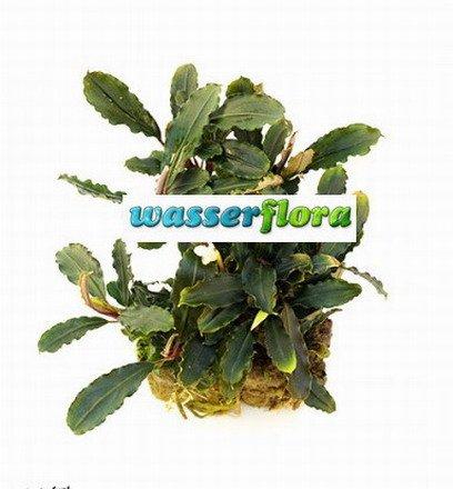 WFW wasserflora Bucephalandra spec....