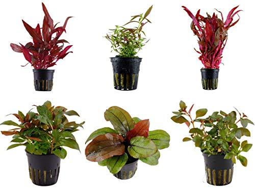 Tropica Pflanzen Set 6 schöne rote Topf...