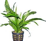 Mühlan Wasserpflanzen 3 Töpfe Javafarn, Microsorium Pteropus, Aquarium