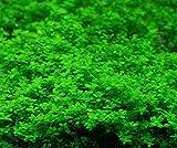Love Grass Seeds 10g ca. 7000pcs Bio-Wasserpflanzen Aquarium Gras Live Double Leaves Aquarium Tropische Dekorationen Hydroponic Rooted Stängel für das Pflanzen Wachsen