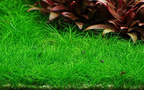 Tropica Aquarium Pflanze Eleocharis...