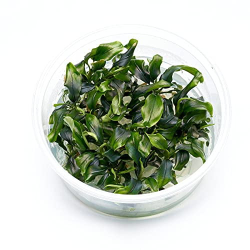 Guemmer Plant Bucephalandra - Wavy Green...