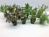 Aquarienpflanzen Set Wasserpflanzen 5 Töpfe. ideal für den Anfänger