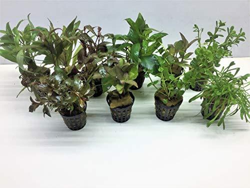 Aquarienpflanzen Set Wasserpflanzen 5...