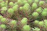 Wasserpflanzen Wolff - Klärpflanze! - Myriophyllum hippuroides - Tausendblatt - Papageienfeder