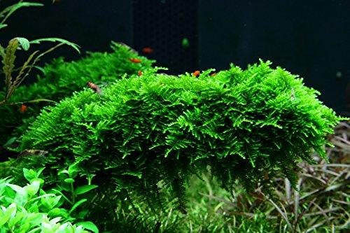 Tropica Aquarium Pflanze Moos...