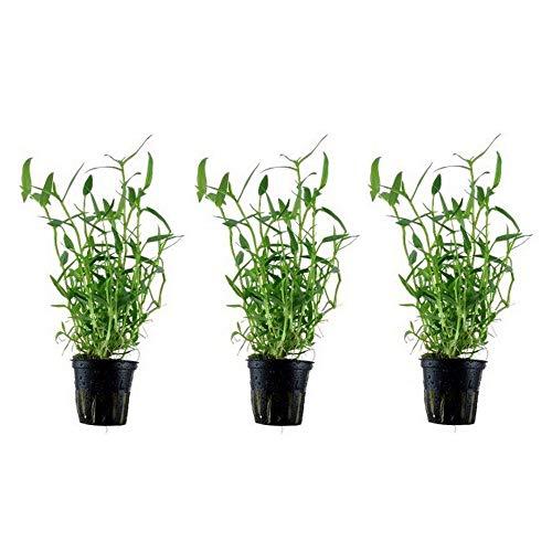 Aquariumpflanze 3 Stück Wasserpflanzen...
