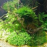 Wasserpflanzen 10 Bund ca 70 Aquariumpflanzen