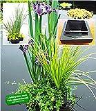 BALDUR Garten Wasserpflanzen-Insel mit Schwimmring, 1 Komplett-Set mit Wasserpflanzen und Teichpflanzen