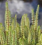 fertig im Pflanzkorb - winterhart - Hippuris vulgaris - Tannenwedel - Wasserpflanzen Wolff