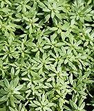 2er-Set - winterhart - Klärpflanze! - Callitriche palustris - Sumpf-Wasserstern - Frühlingswasserstern - Wasserpflanzen Wolff