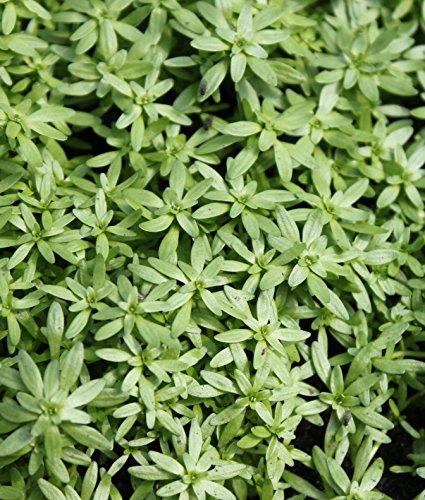 2er-Set - winterhart - Klärpflanze! -...