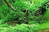 Mühlan - 8 Töpfe Wasserpflanzen + Dünger, 4 Echinodorus + 1 Javafarn + 1 Anubia + 2 Cryptocrynen - hochwertiges Aquarienpflanzen Sortiment