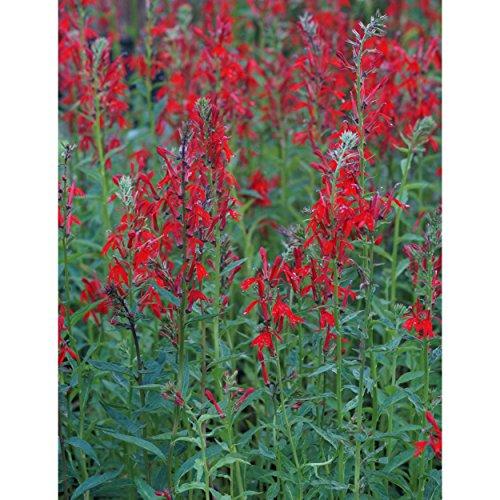 Blumixx Stauden Lobelia cardinalis -...