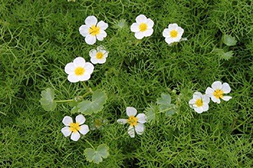2er-Set - Klärpflanze! - Ranunculus...