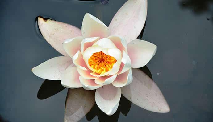 Blühende Teichrosen - eine Zierde für jeden Gartenteich