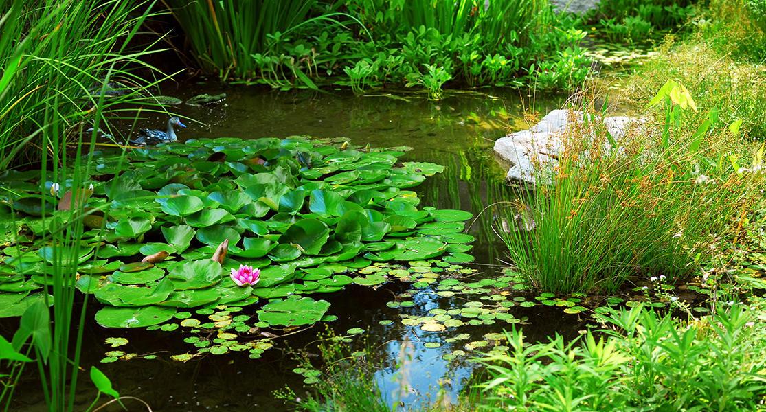 Teich Wasserpflanzen kaufen