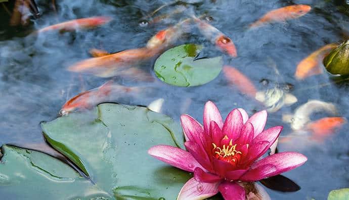 Wasserpflanzen für den Koiteich - welche sind geeignet?