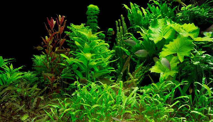 Wasserpflanzen für das Aquarium selber züchten